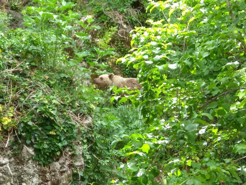 Αρκούδα σε δάσος Μικρό Πάπιγκο